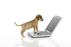 Smart Dog. Cute puppy looking at computer screen Stock Photo