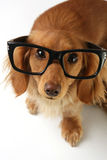 Smart dog Royalty Free Stock Photography