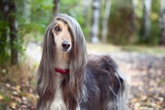 Smart dog Afghan hound with ideal data stands in the autumn forest and looks into the camera. A long bang closes her one eye. Picturesque portrait of a dog stock photo
