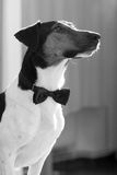 Smart dog with bow tie Stock Photography