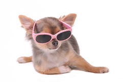 Smart dog.Chihuahua Puppy With Sunglasses Royalty Free Stock Photos