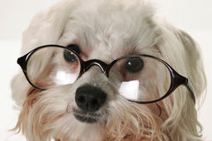 Smart dog with glasses. Shot of a smart dog with glasses Stock Photos