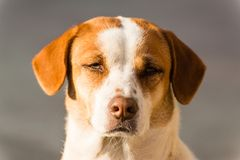 Smart dog. A smart dog and imploring eyes Stock Images