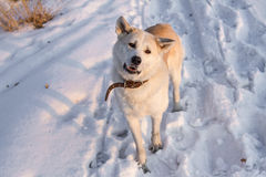 Smart dog Japanese Akita Inu in the snow at sunset in the field. Royalty Free Stock Images
