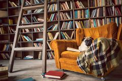 Smart dog in library chair. Funny pug with books. smart dog in library chair Stock Images