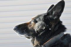 Glance smart dogs on the sun. Smart dog look at the sun ,shepherd dog head royalty free stock image