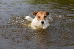 Smart dog looking fixedly while playing and swimming in water Royalty Free Stock Photos