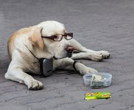 A smart dog in old age became ill to see and he needed glasses royalty free stock photography