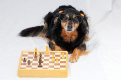 Smart Dog Playing Chess Stock Image