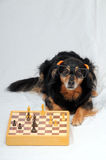 Smart Dog Playing Chess Stock Photos