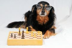 Smart Dog Playing Chess Royalty Free Stock Photography