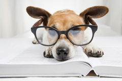 Smart dog reading book Royalty Free Stock Images