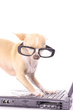 Smart dog sending an email. Photo of a smart dog sending an email Royalty Free Stock Photos