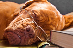Smart Dog Sleeping in Books Royalty Free Stock Images