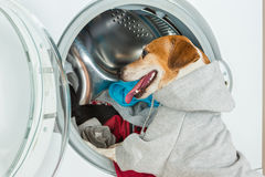Smart dog with sport grey hood put clothes to washing machine. Laundry and dry cleaning small helper pet service. Funny ad for your business Royalty Free Stock Photos