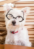 Smart Dog Wearing Glasses Royalty Free Stock Photography