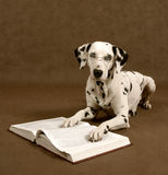Smart doggy. Story: Erudite dalmatian Stock Photos