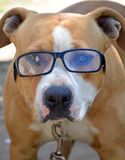 Smart experienced dog, Amstaff Stock Images