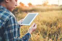 Smart farming Agricultural technology and organic agriculture Woman using the research tablet and studying the development of rice royalty free stock photography