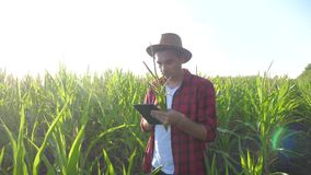 Smart farming concept slow motion video. Agronomist man holds tablet touch pad computer in the corn lifestyle field is. Studying and examining crops before stock video