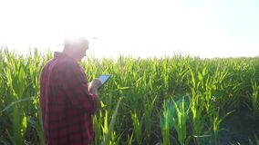 Smart farming concept slow motion video. man agronomist holds tablet touch pad computer in the corn field is studying. And examining crops before lifestyle stock video