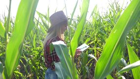Smart farming slow motion video concept. girl agronomist holds tablet touch pad lifestyle computer in corn field is. Studying and examining crops before stock video footage