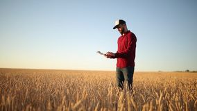 Smart farming using modern technologies in agriculture. Farmer hands touch digital tablet computer display with fingers. In wheat field using apps and internet stock footage