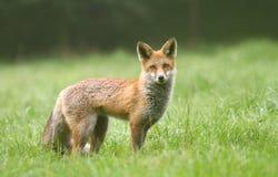 Smart fox Stock Images