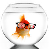 Smart Gold fish. In glasses looking at sales growth graph Royalty Free Stock Photography