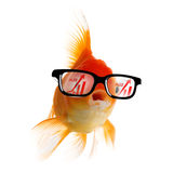 Smart Gold fish Royalty Free Stock Photography