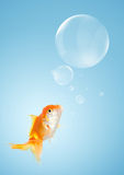 Smart goldfish and callouts like a bubble Royalty Free Stock Image