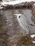 Smart gray heron Royalty Free Stock Images