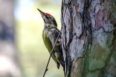 Smart Grey-headed woodpecker (lat. Picus canus) with green wings and red hat on pine tree trunk Stock Photos