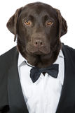 Smart Handsome Labrador in Tuxedo Stock Photography