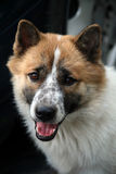 Smart hund Royaltyfria Bilder