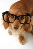 smart hund Royaltyfri Fotografi
