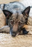 Smart hund som väntar på hans ägare arkivbilder