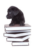 Smart little labrador Royalty Free Stock Photo