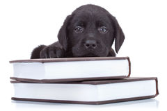Smart little labrador royalty free stock image