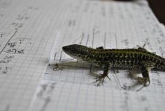 Lizard studyng thermodynamics. Smart lizad, enjoyng my notes fromm university about gas turbines Royalty Free Stock Photography