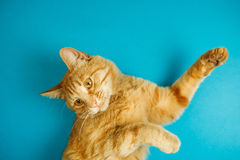 Smart long eared tabby cat with scornful look posing. On blue background. Lovable pet friend with luxurious whiskers, poster with healthy feline for veterinary Stock Photography