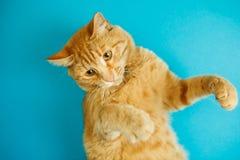 Smart long eared tabby cat with scornful look posing Royalty Free Stock Photos
