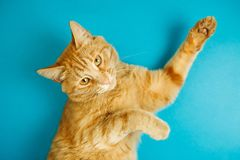 Smart long eared tabby cat with scornful look posing. On blue background. Lovable pet friend with luxurious whiskers, poster with healthy feline for veterinary Stock Photo