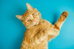Smart long eared tabby cat with scornful look posing. On blue background. Lovable pet friend with luxurious whiskers, poster with healthy feline for veterinary Royalty Free Stock Photos