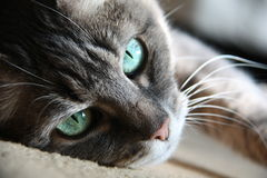 Smart look green-eyed cat Stock Image