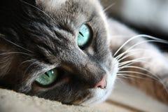 Smart look green-eyed cat. Lying stock image