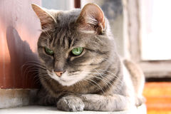 Smart look green-eyed cat Royalty Free Stock Photo