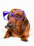 Smart looking dog Stock Image