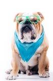 Smart looking English bulldogs Stock Photo