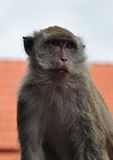 Smart Monkey Royalty Free Stock Photography